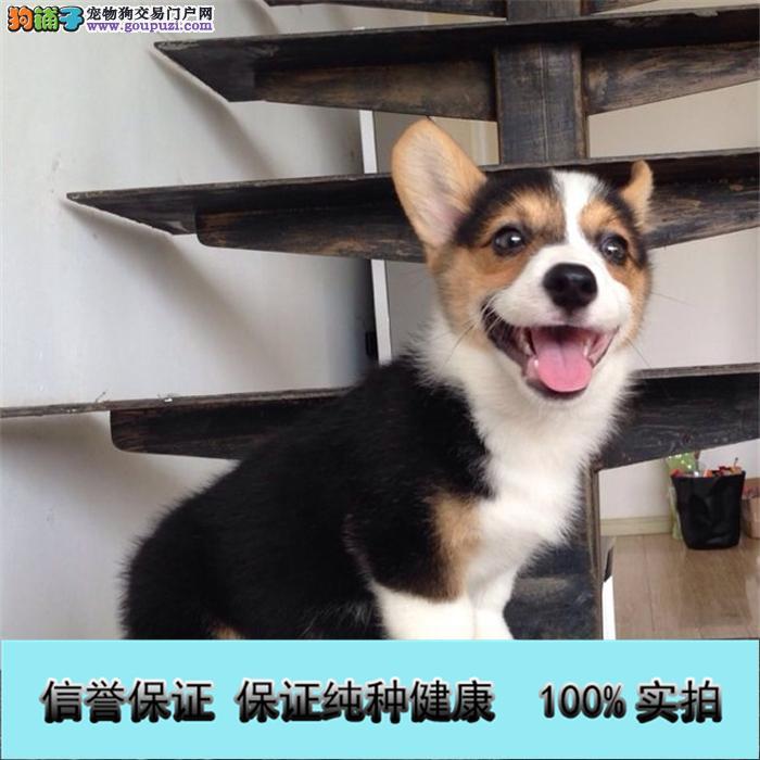 高品质纯种威尔士柯基犬幼犬宠物狗出售包退换签协