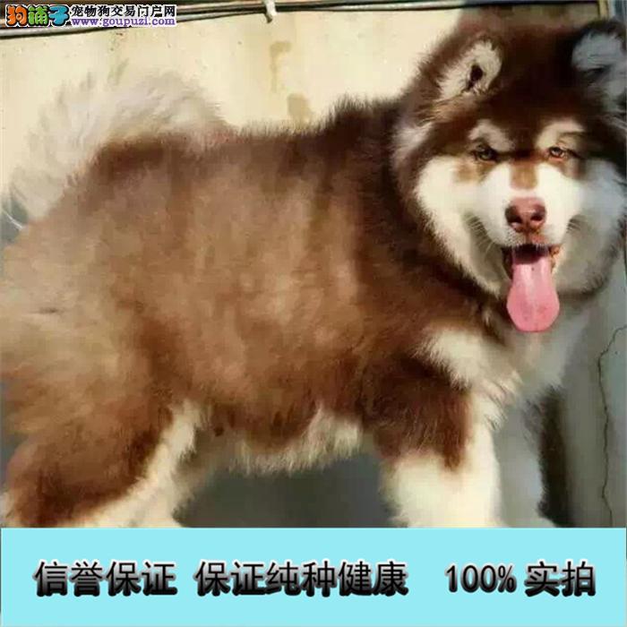 基地直销 纯种阿拉斯加等品种幼犬 保健康 送用品