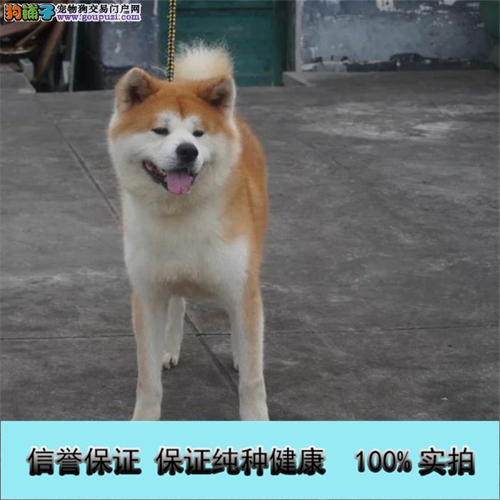 出售纯种健康的秋田幼犬活泼靓丽色泽纯正