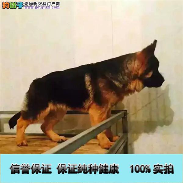 基地直销 纯种德牧等品种幼犬 保健康 送用品