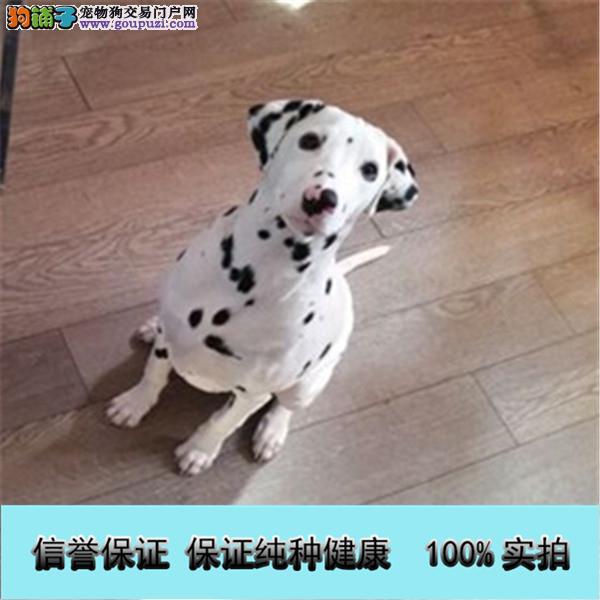大麦町犬品质保证 打完疫苗活波可爱斑点宝宝