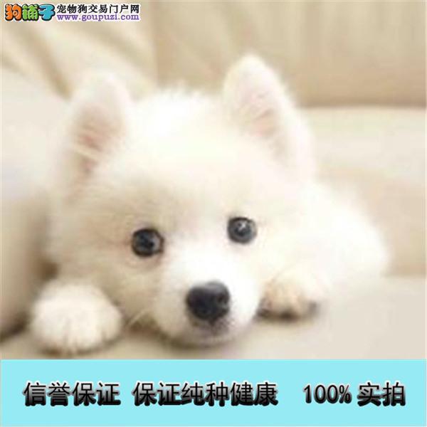 纯种银狐犬出售,三个月健康保证,三年有问题包治
