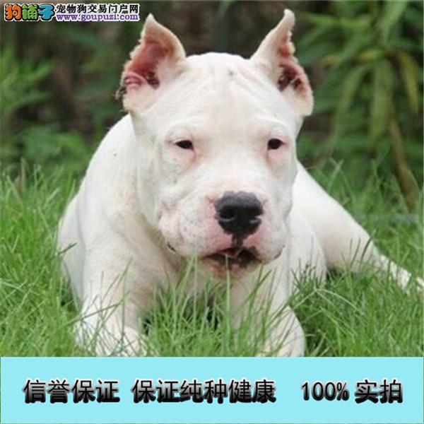 出售纯种杜高犬幼犬聪明伶俐高端大气 绝对物超所值