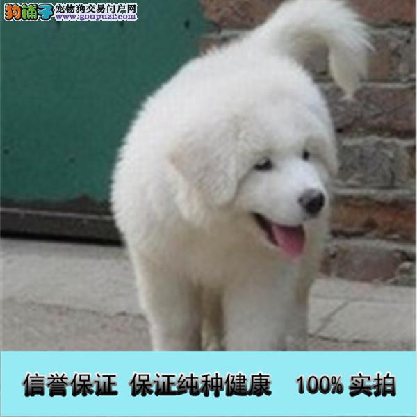 纯血统繁殖超大骨量赛级双冠大白熊幼犬出售健康签质