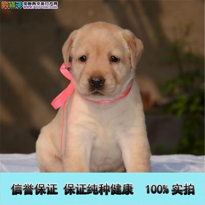 出售纯种的聪明的拉布拉多幼犬品相好头版好 健康