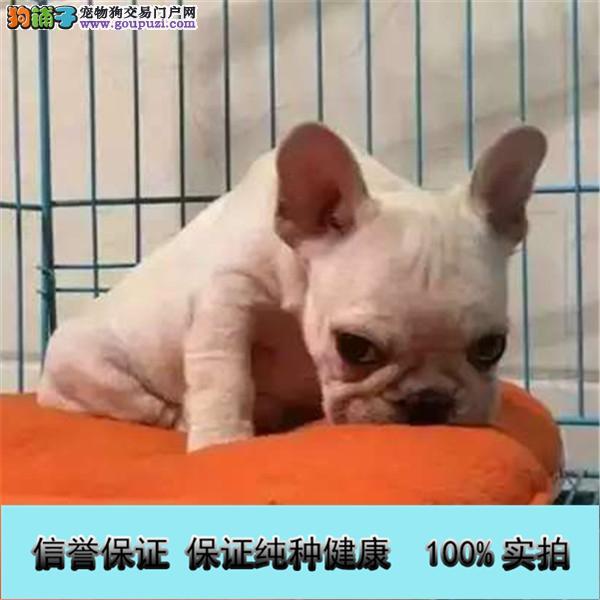 犬舍出售中型犬 法牛,英牛,柯基,巴哥,雪纳瑞
