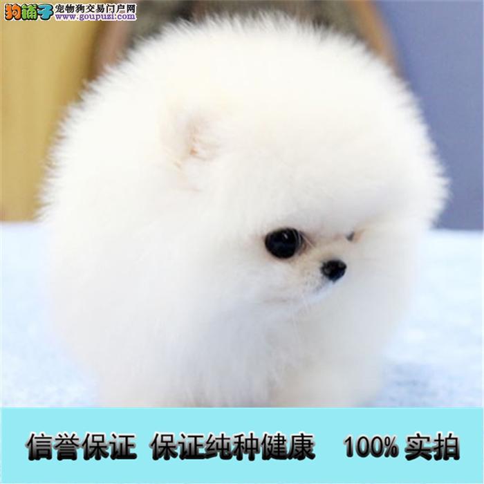 出售小型犬博美 比熊 泰迪 吉娃娃等名犬