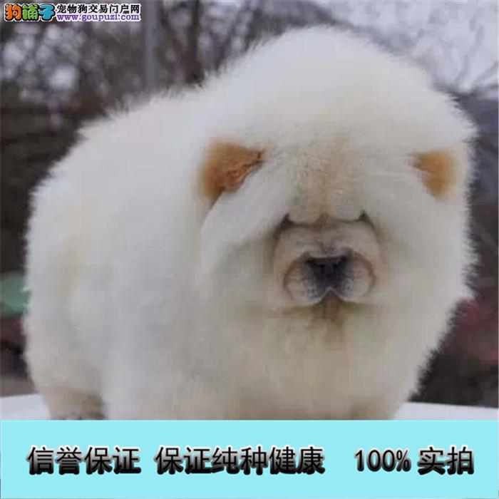 极品松狮幼犬,很憨厚,很可爱,毛茸茸,肉嘴、面包嘴