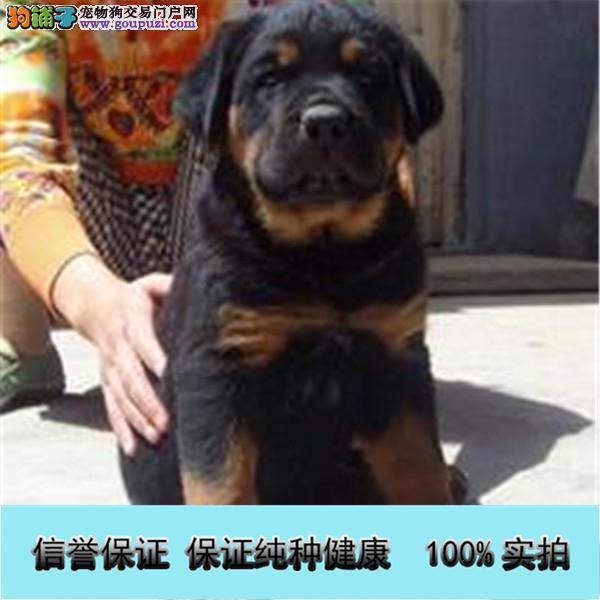 猛犬罗威纳幼犬出售、大头宽嘴吧、公母可选、疫苗齐