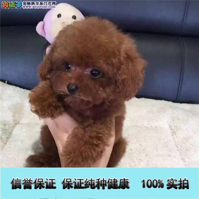 家养出售贵泰迪 金毛 博美 哈士奇 比熊等名犬