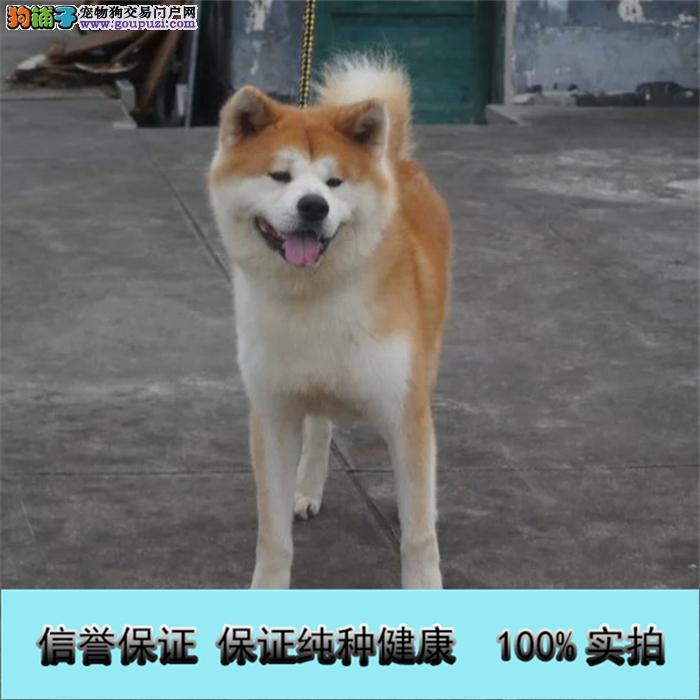 冠军级血统日本秋田犬 国外登陆冠军级后代 国际证