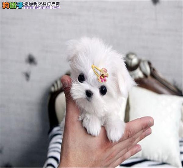 上海出售雪白靓丽马尔斐济 质保三年签订协议