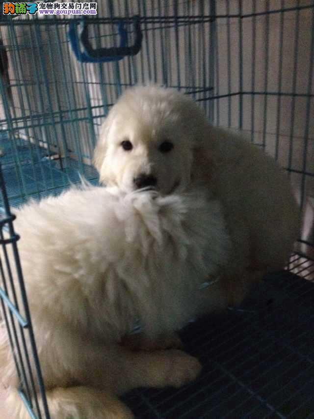 上海市区嘉定区哪里犬舍大白熊价格照片