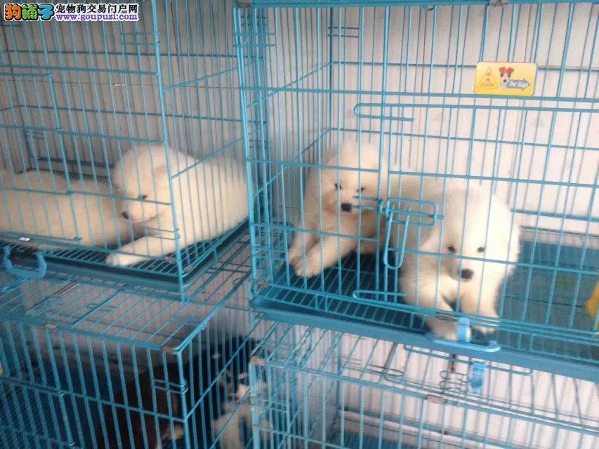 上海市区嘉定区哪里犬舍伯恩山价格照片