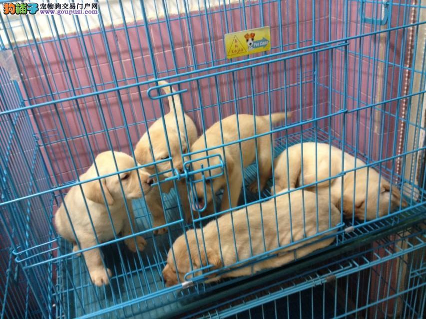 上海市区嘉定区哪里犬舍狼狗价格照片
