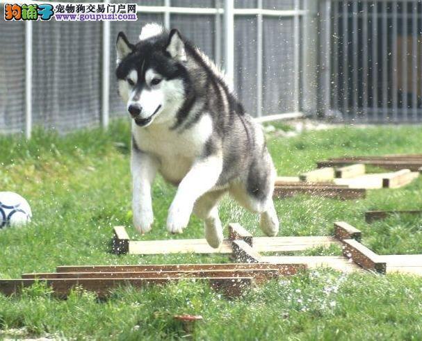 上海纯种哈士奇,顽皮的伴侣犬 欢迎随时上门看狗