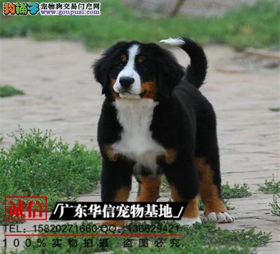 正规犬舍繁殖、诚信交易、纯种伯恩山犬、可签协议