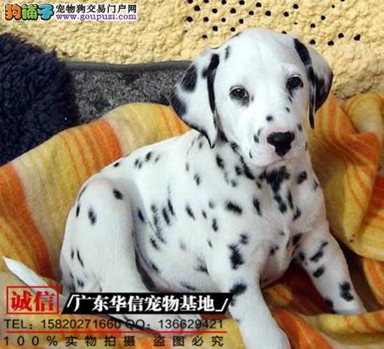 直销纯种斑点犬、保证纯种健康 、终身质保、饲养指导