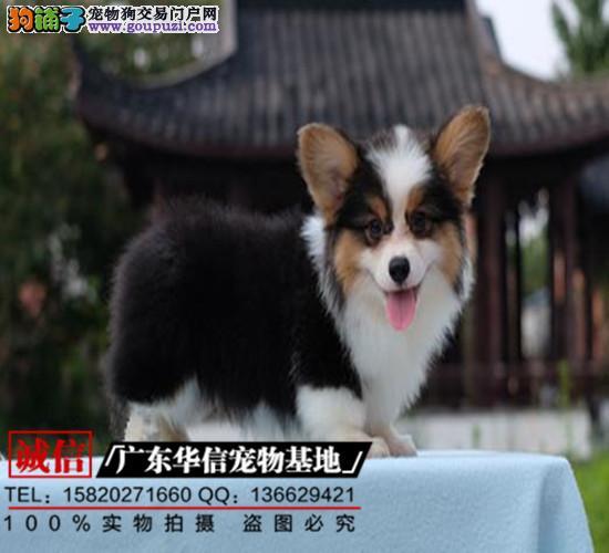 纯种顶级柯基犬、短粗腿、两三色柯基、通风围脖