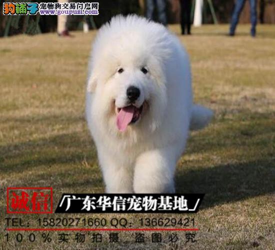 顶级大白熊幼犬、品相血统纯正、保证健康、售后有保障