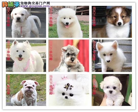 火爆出售,秋田犬,萨摩耶,沙皮,松狮