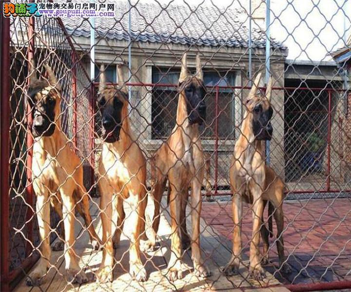 贵族纯正大丹犬、假一赔十品质第一、提供养狗指导