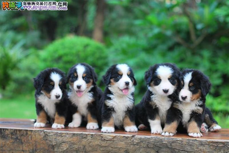 出售伯恩山幼犬、一宠一证证件齐全、提供养护指导