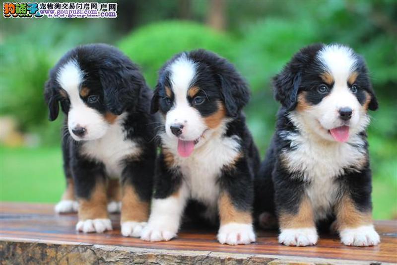 出售伯恩山幼犬,金牌店铺品质第一,可送货上门