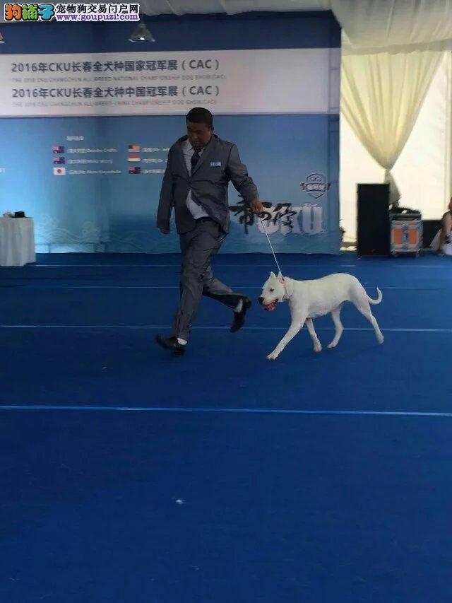 哈尔滨猎护杜高犬舍有杜高犬出售