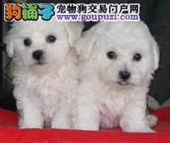 上海比熊犬舍 比熊宝宝 保证质量售后 可签协议
