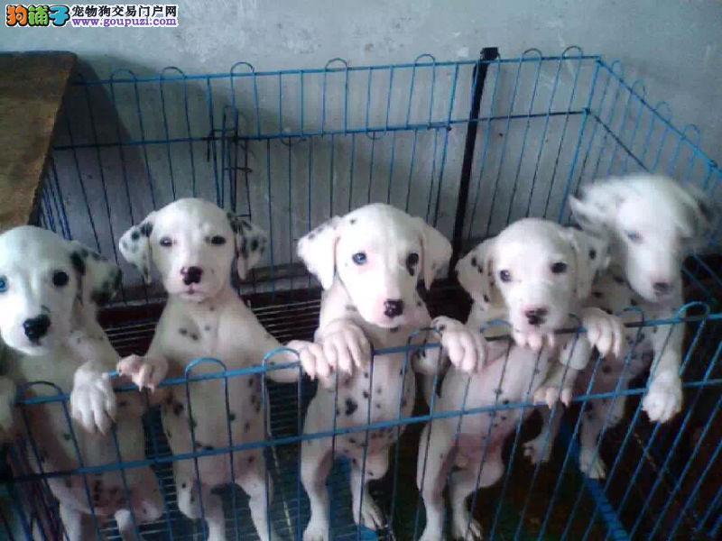 八联疫苗齐证书齐全顶级斑点幼犬赠户口多窝可挑可刷卡