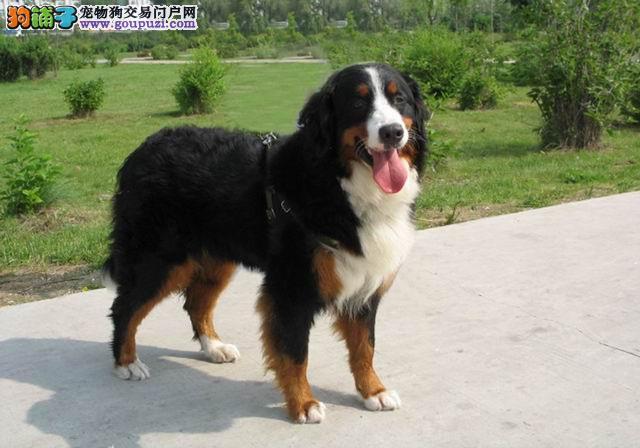 CKU犬舍  伯恩山犬  签协议保健康