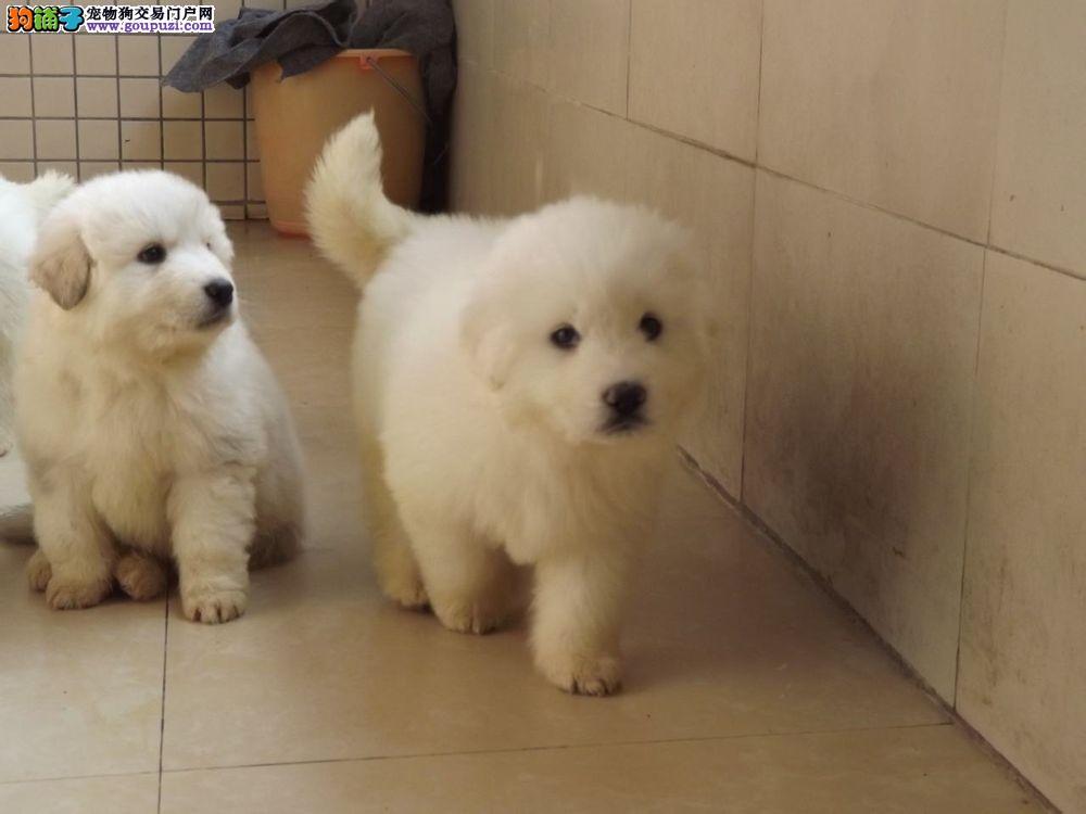 京城缔造顶级大骨量白熊犬赠送户口多窝可挑八联疫苗齐