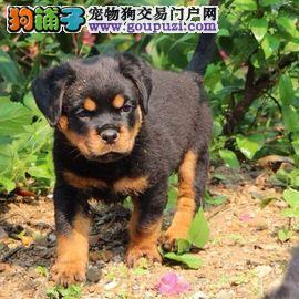 专业繁殖卡斯罗犬、纽波利顿犬、幼犬出售保健康签协议