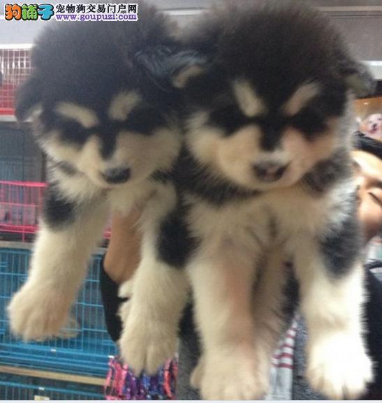 贵州直销纯种阿拉斯加幼犬、贵州买卖狗直销阿拉斯加