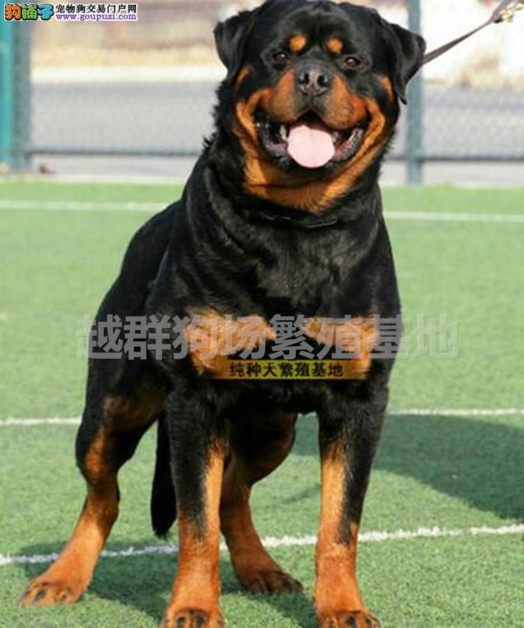 广东大型养狗场 直销顶级罗威纳犬 血统纯正