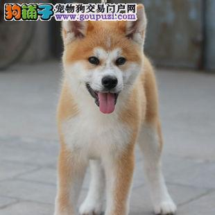 顶级日本柴犬 冠军级后代三个月幼犬待售 血统清晰
