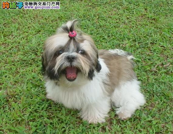 出售西施犬公母都有品质一流签订合法售后协议