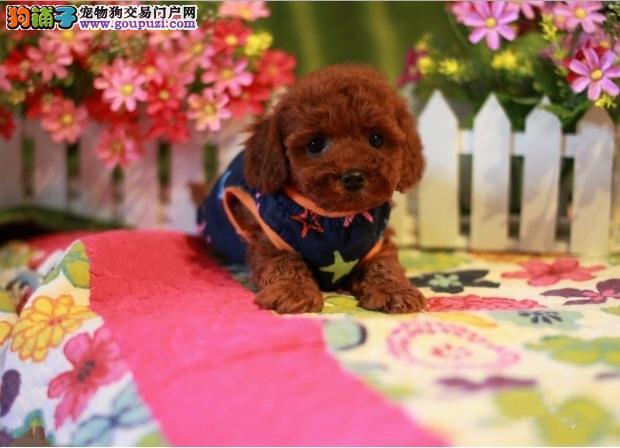 纯血统茶杯犬幼犬 自家繁殖保健康 购买保障售后