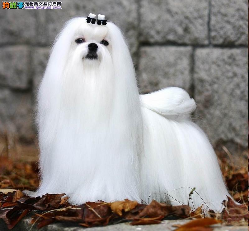 高品质小体西施犬/贵族血统/高端伴侣犬/玩赏犬