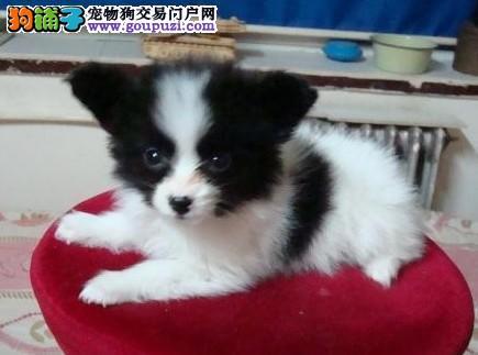 出售纯种蝴蝶犬 CKU认证 保健康纯种