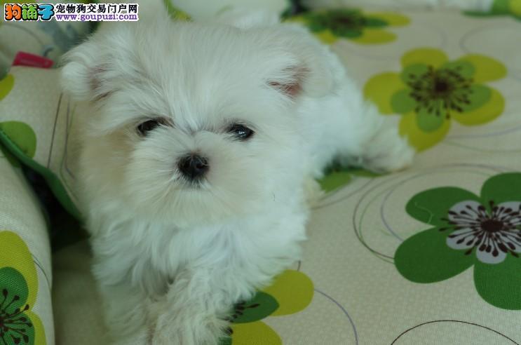 纯种马尔济斯幼犬 健康 信誉 诚信保证全国出售