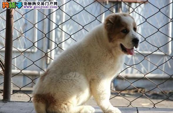 专业正规犬舍热卖优秀的太原中亚牧羊犬下单有礼全国包邮