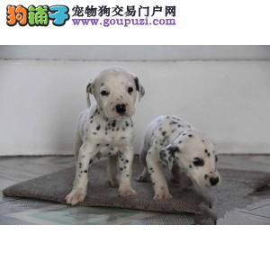 赛级斑点犬 疫苗证书齐全 售后签协议可送货