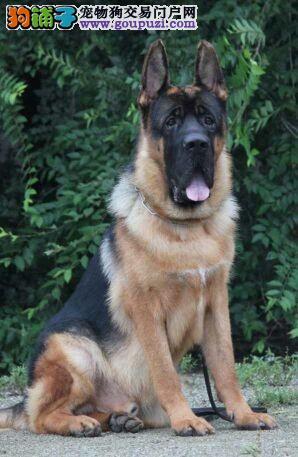 德国牧羊犬德国黑背世界犬中之王
