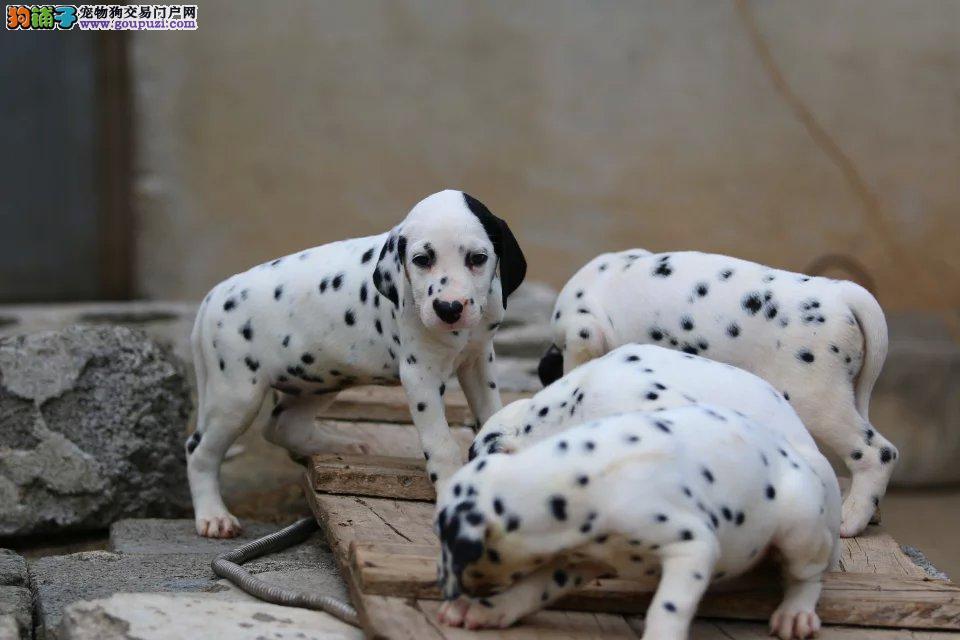 纯种大气独特外表斑点狗狗出售