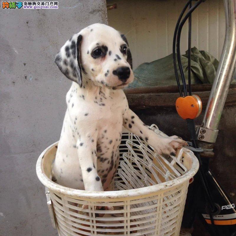长沙斑点犬可以去哪里购买 长沙健康的斑点狗哪里有