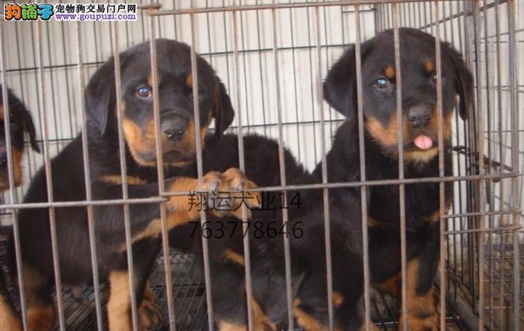 平民价德系血统罗威纳幼犬公母均匀出售