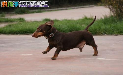 大型专业培育腊肠犬幼犬包健康赛级品质保障