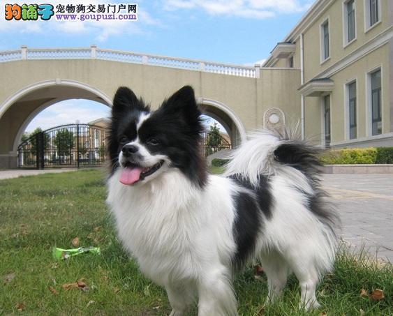 重庆出售漂亮可爱纯种蝴蝶犬 疫苗齐全品相好 包健康